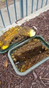 Live Bee Removal in Water Valve Box