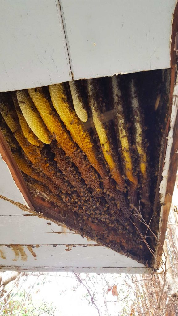 Bees in the eaves of a home