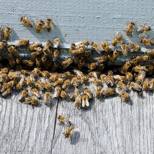 Menifee Bee Removal