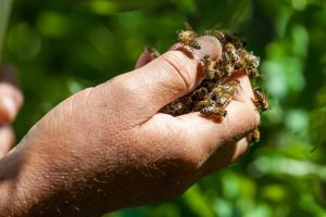 bee hive removal carlsbad bee removal