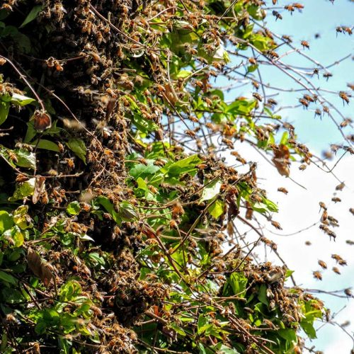 live bee removal fallbrook